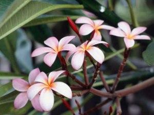 frangipani-flowers[1]